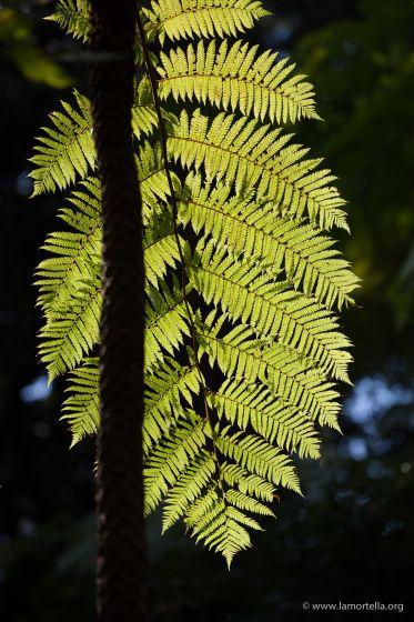 felci-arboree-03