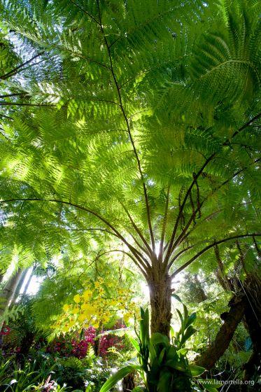 felci-arboree-08