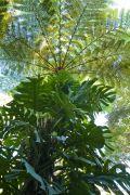 felci-arboree-09