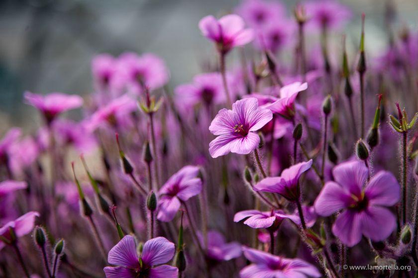 geranium-maderense-05