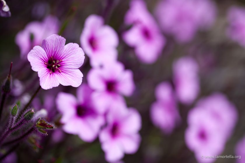 geranium-maderense-09