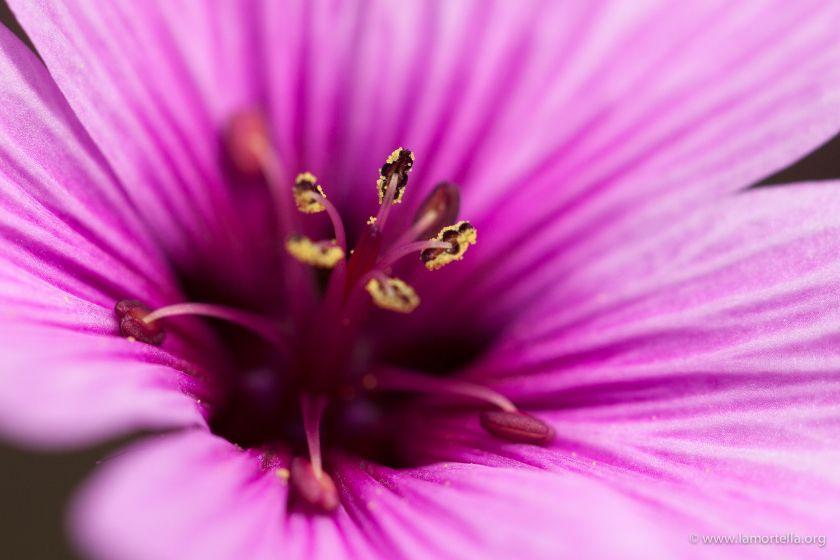 geranium-maderense-11