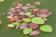 piante-acquatiche-33